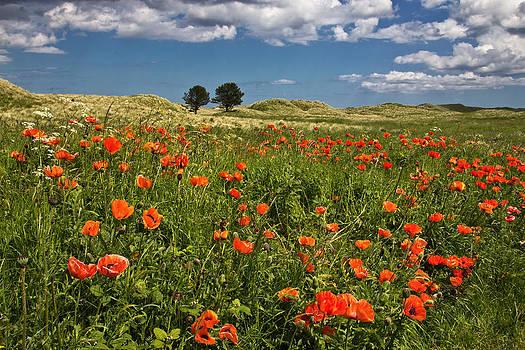 David Pringle - Poppies