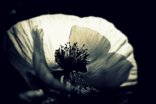 Marysue Ryan - Poppy Photo Black and White Fine Art Flower Photography