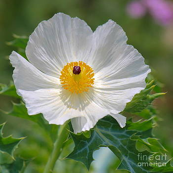 Poppy Perfection  by Diana Black