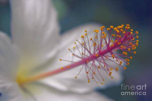 Pua Aloalo - Koki'o ke'oke'o - Hibiscus arnottianus - Hawaiian White Hibiscus  by Sharon Mau