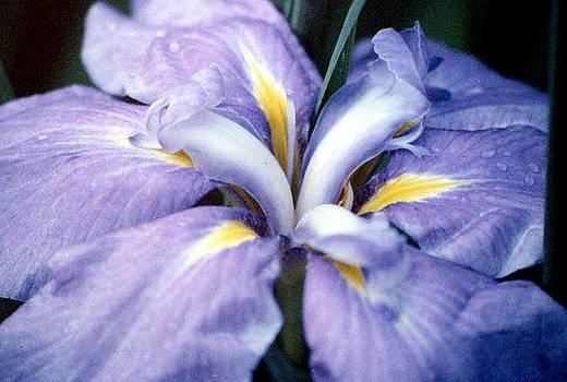 Stephen Proper Gredler - Purple Iris