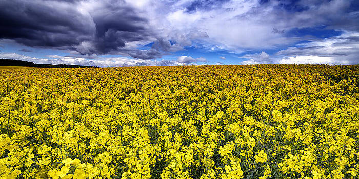 David Pringle - Rapeseed Field