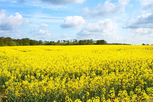 Fizzy Image - rapeseed oil field in the English countryside