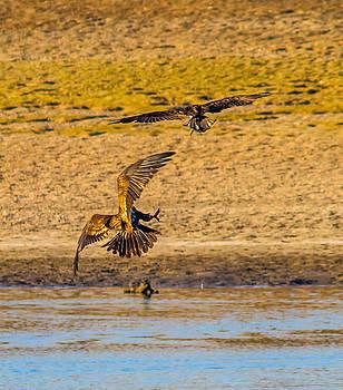 2 Raptors fighting by Brian Williamson