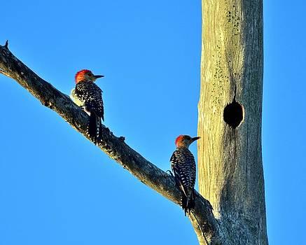Red bellied Woodpecker  by Diana Berkofsky