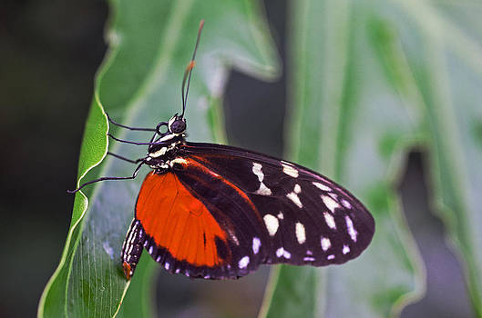 Red Form Butterfly by Cheryl Cencich