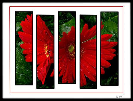 Red Gerbera Daisy by James C Thomas