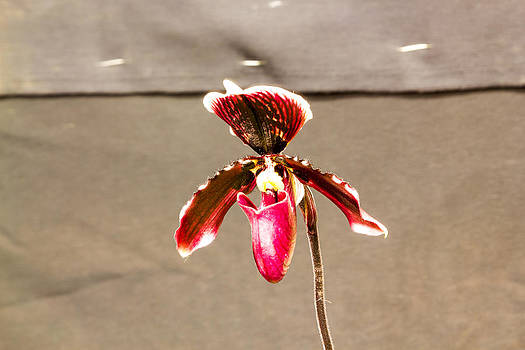 Red orchid flower  by Tibor Co