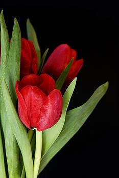 Red Tulips by Gillian Dernie
