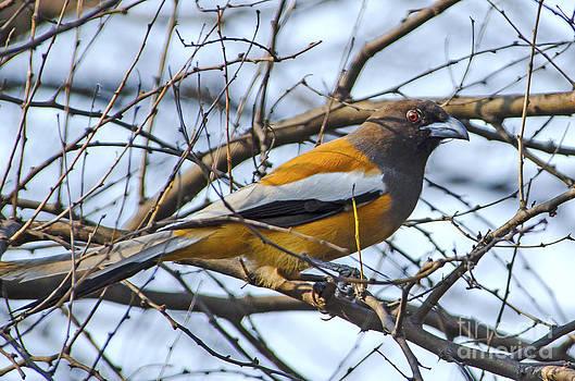 Pravine Chester - Rufous treepie