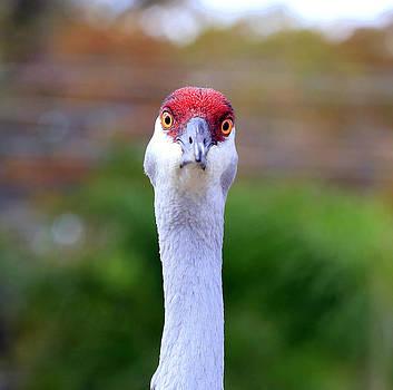 Sandhill Crane Bird by Mina Isaac