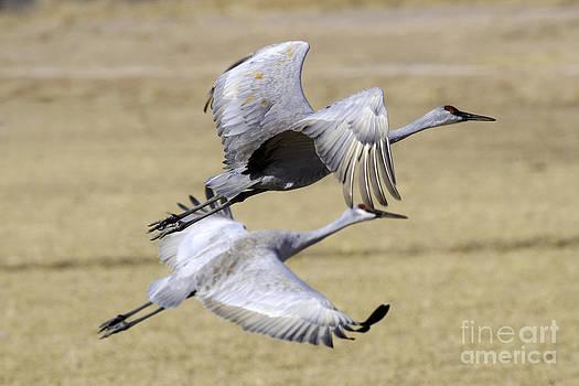 Tim Moore - Sandhill Cranes