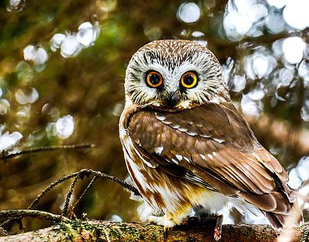 Saw-Wet Owl by Brad Bellisle
