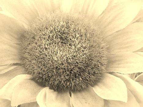 Sepia Sunflower by Jason Michael Roust