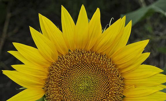 Single Sunflower by Joenne Hartley