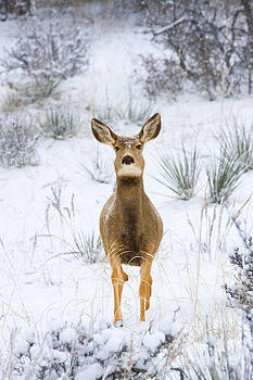 Steve Krull - Snowstorm Deer