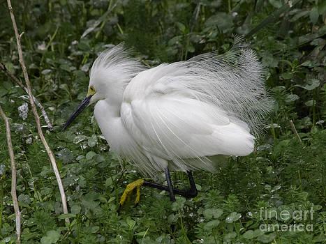 Tim Moore - Snowy Egret