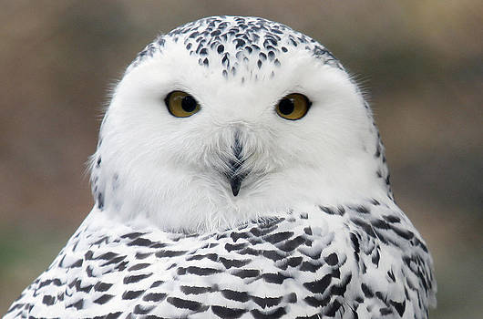 Snowy Owl by Nina Peterka