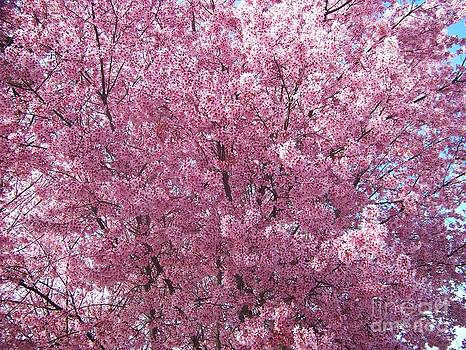 Spring Blossoms by Kevin Croitz