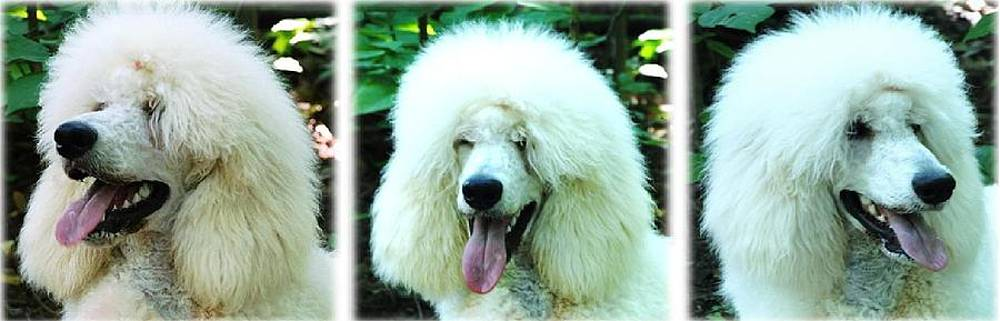 Standard Poodle Triptych by Lisa  DiFruscio