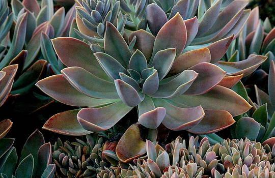 Rosanne Jordan - Succulents #1