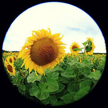 Sunflower by Falko Follert