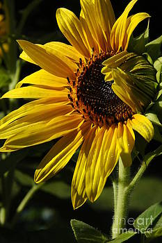 Sunflower Glory by Christiane Hellner-OBrien