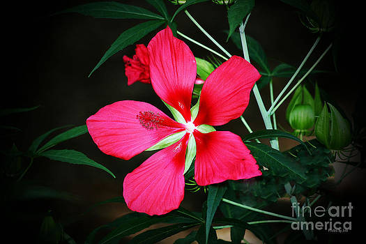 Swamp Hibiscus Blossoms by Jinx Farmer