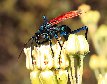 Tarantula Hawk Wasp by Old Pueblo Photography