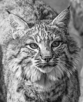 Thomas Schreiter - the bobcat