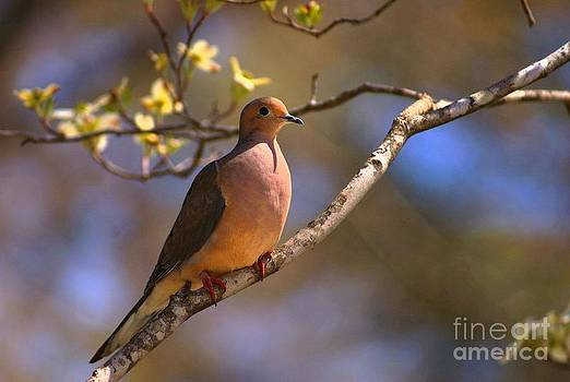 The Perched Dove by Adam Dowling