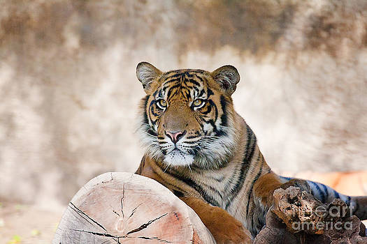 Tiger Cub by Zsuzsanna Szugyi