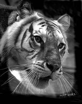 Tiger by Keith Lovejoy