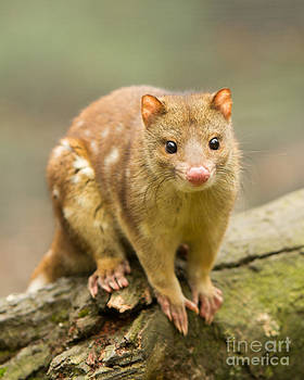 Tiger Quoll by Craig Dingle