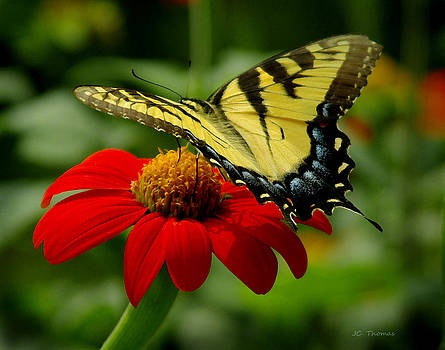 Tiger Swallowtail  by James C Thomas