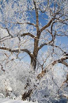 Tree by the River. Covered with Hoar Frost. by Rob Huntley