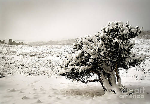 Tim Hester - Trees in Snow