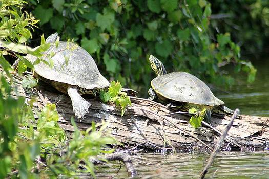 2 Turtles by Marcia Crispino