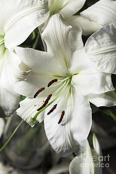 Peter Noyce - Vase white lilies with falling petals as they die