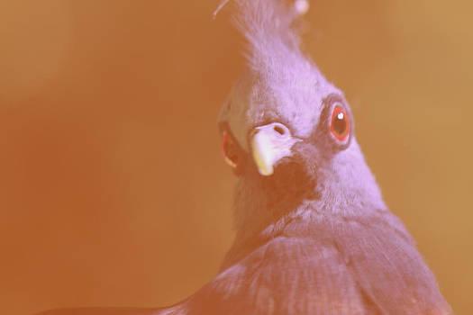 Victoria Crowned Pigeon by Tinjoe Mbugus