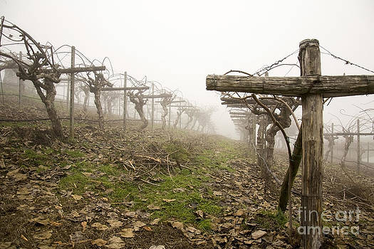 Vineyard In The Fog by Stefano Piccini