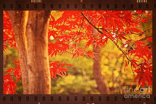 Beverly Claire Kaiya - Vivid Vermillion Maple Leaves in Autumn