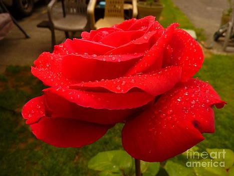 Wet Rose by Katherine Karsten