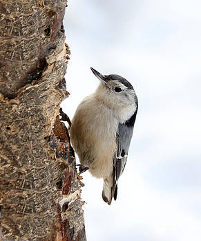 White-breasted Nuthatch by Lori Tordsen