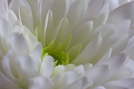 David Pringle - White Chrysanthemum