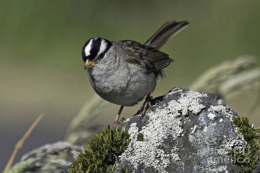 Tim Moore - White-crowned Sparrow