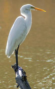 Dale Powell - Magnolia White Heron
