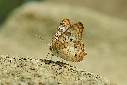 Tam Ryan - White Peacock Butterfly