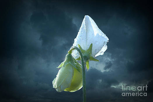 White Sweet Pea  by Marjorie Imbeau