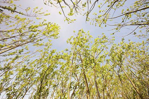 Willow Trees Being Grown As Biofuel by Ashley Cooper